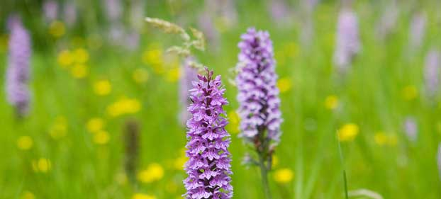 Louis-Grubb-wild-orchid-meadow